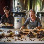 women hand sorting harvested grapes on a conveyor belt at Domaine de La Dourbie in France's Languedoc region