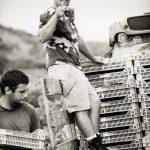 harvesting crew harvesting grapes at Domaine de La Dourbie in Languedoc France